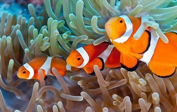 Anemon Laut dengan Ikan Badut