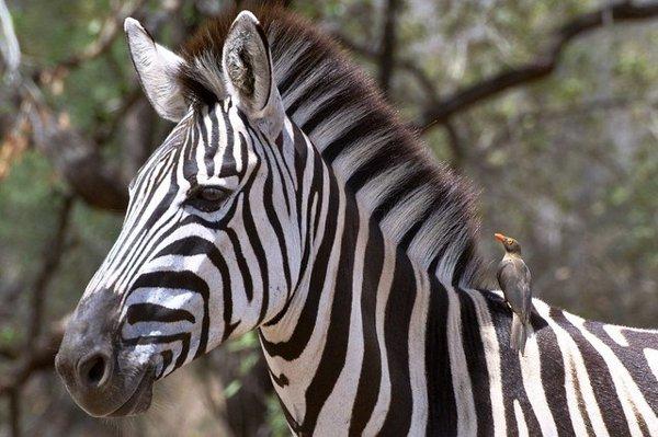 Zebra dengan Burung Oxpecker